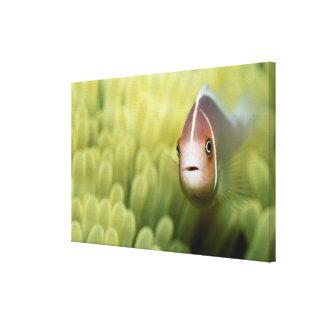 Pink Anemone Fish Canvas Print