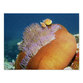 Pink Anemonefish Amphiprion perideraion ) in Print