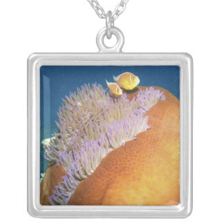 Pink Anemonefish Amphiprion perideraion ) in Silver Plated Necklace