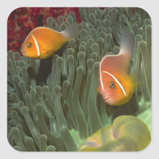 Pink Anemonefish in Magnificant Sea Anemone Square Sticker