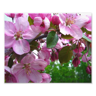 Pink Apple Blossoms Photo