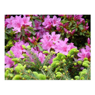 PINK AZALEA 30 FLOWERS Pine Cards Gifts Mugs Postcard