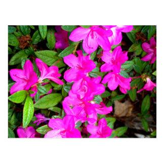 Pink Azalea Blooms Postcard
