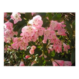 Pink Azalea Flowera Postcard
