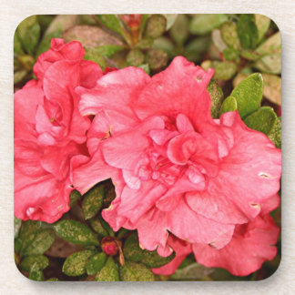 Pink azalea flowers in bloom drink coaster