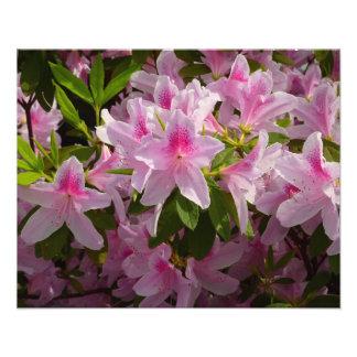 Pink Azaleas Photo Print