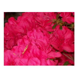 Pink Azaleas Postcard