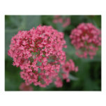 Pink Balls of Flowers Poster