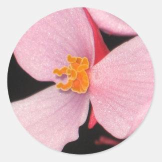 Pink Begonia Sticker