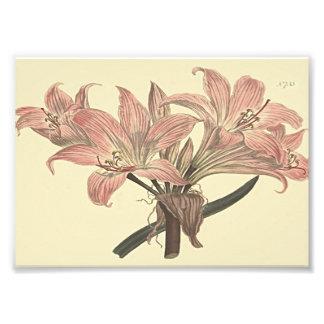 Pink Belladonna Lily Botanical Illustration Photo Print