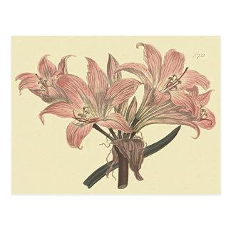 Pink Belladonna Lily Botanical Illustration Postcard