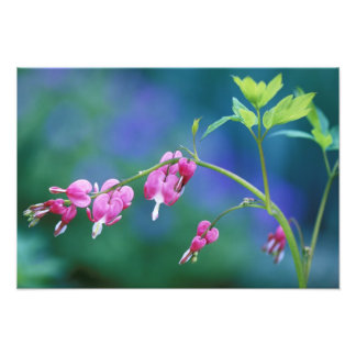 Pink bleeding hearts in garden. Credit as: Photographic Print