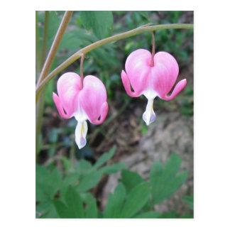 Pink Bleeding Hearts Postcard