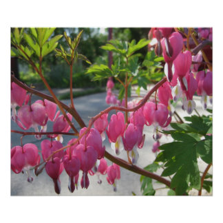 Pink Bleeding Hearts Posters