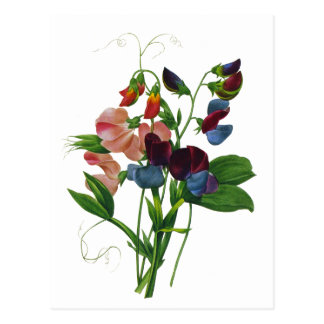 Pink Blue and Purple Sweet Peas by Redoute Postcard