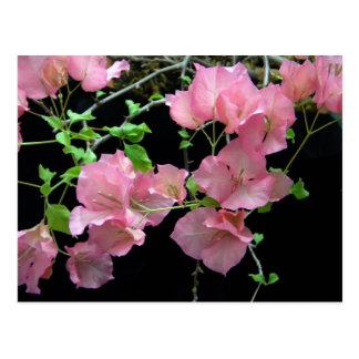 Pink Bouganvilla Clusters Postcard
