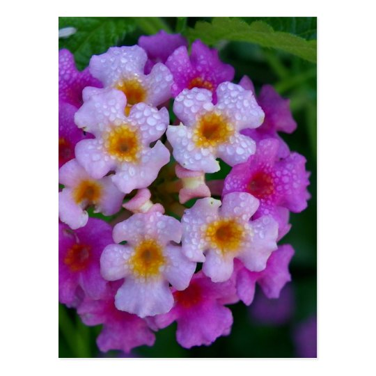 Pink Butterfly Weed Flowers Postcard
