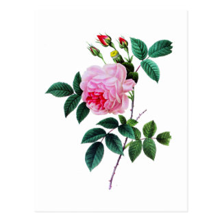Pink Cabbage Rose by Pierre Joseph Redoute Postcard