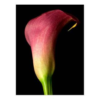 Pink Calla Lily Postcard