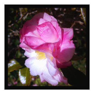 Pink Camellia Bloom Digital Photo Prints
