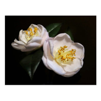 Pink Camellia Blossom Postcard