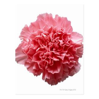 Pink Carnation Close-up Postcard