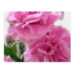Pink Carnations 1 Postcard