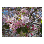 Pink Cherry Blossoms Posters