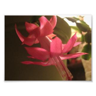 Pink Christmas Cactus Flower Art Photo