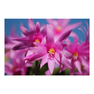 Pink Christmas Cactus Flowers Posters