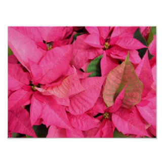 Pink Christmas Poinsettia Flowers Poster