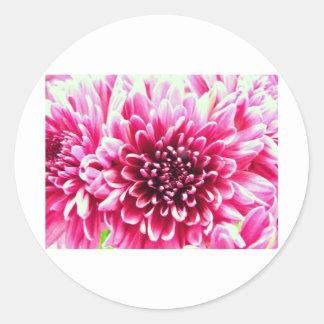 Pink chrysanthemum classic round sticker