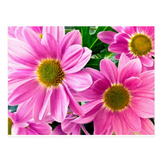 Pink chrysanthemum postcard
