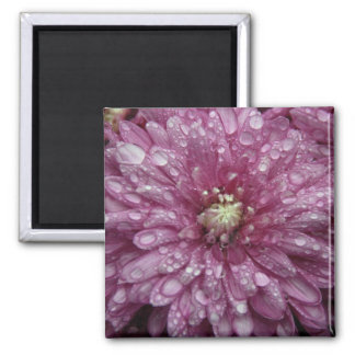 Pink Chrysanthemum with Raindrops Magnets