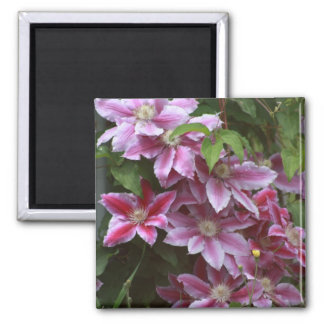 Pink Clematis Square Magnet