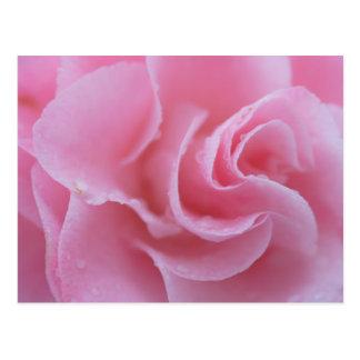 Pink Common Camellia Postcard