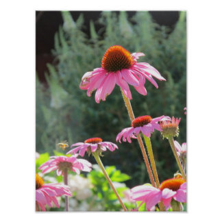 Pink Cone Flowers And A Bee Poster