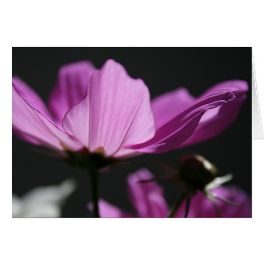 Pink Cosmos in the Sun 2 Floral Photography