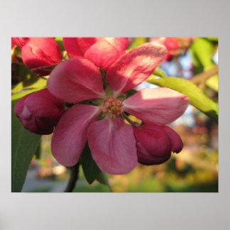 Pink Crab Apple Tree Flower Poster