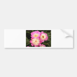 Pink cream Peony flowers in bloom Bumper Stickers