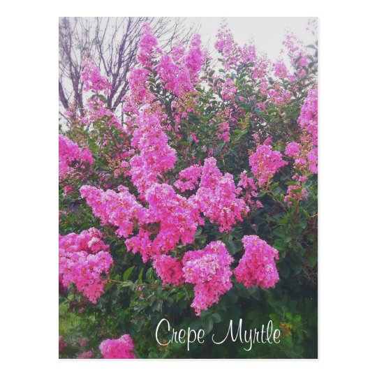 Pink Crepe Myrtle Nature Art Photo with Text