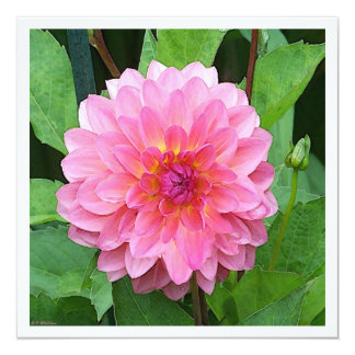 Pink Dahlia 13 Cm X 13 Cm Square Invitation Card