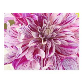 Pink Dahlia Blossom Postcard