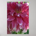 Pink Dahlia flower blossom Poster