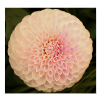 Pink Dahlia on a Canvas Poster