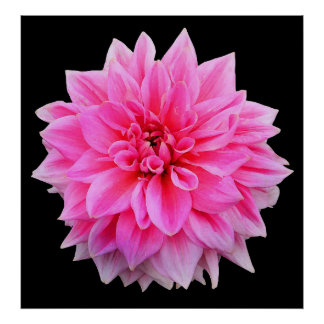 pink dahlia painted print