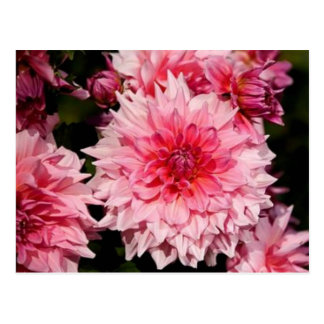 Pink Dahlia Postcard