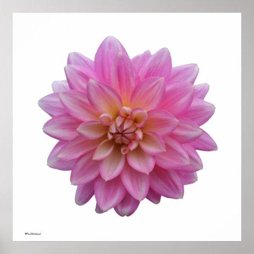 Pink Dahlia Print