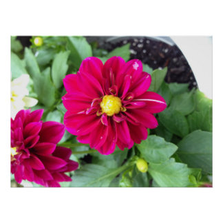 Pink Dahlia Posters
