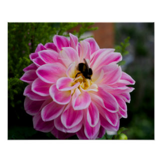 Pink dahlia with bumblebee poster